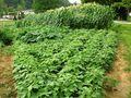 Beans zucchini corn 6-28-10